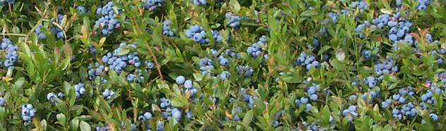 Wild Blueberries in Hope Maine